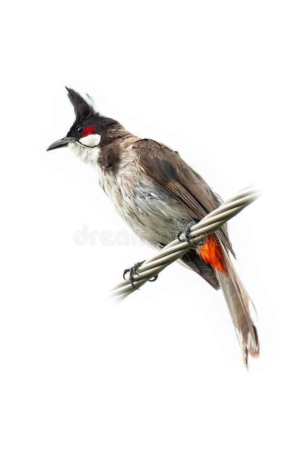 Free Red-whiskered Bulbul Perching On Twisted Metal Cable Isolated On White Background Stock Images - 156757554
