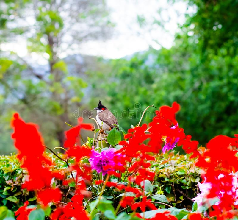 A red whiskered bulbul in Coonoor, Tamil Nadu stock photo