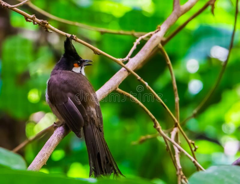 Red whiskered bulbul sitting on a tree branch in closeup, tropical black crested bird, exotic animal specie from Asia stock images