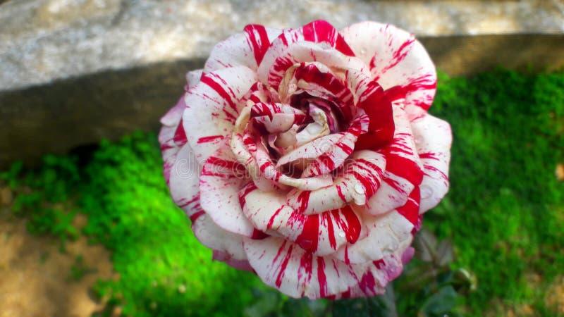 Red & White Batik Rose stock photo