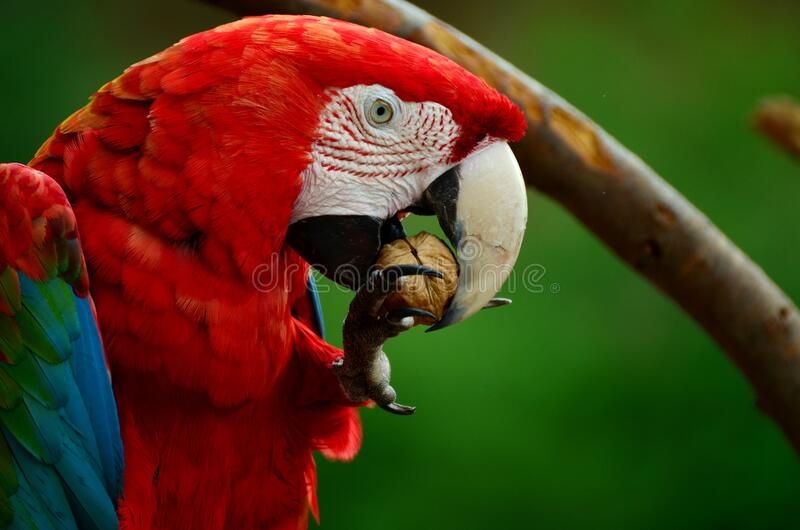 Red White Blue and Green Parrot Bird stock images