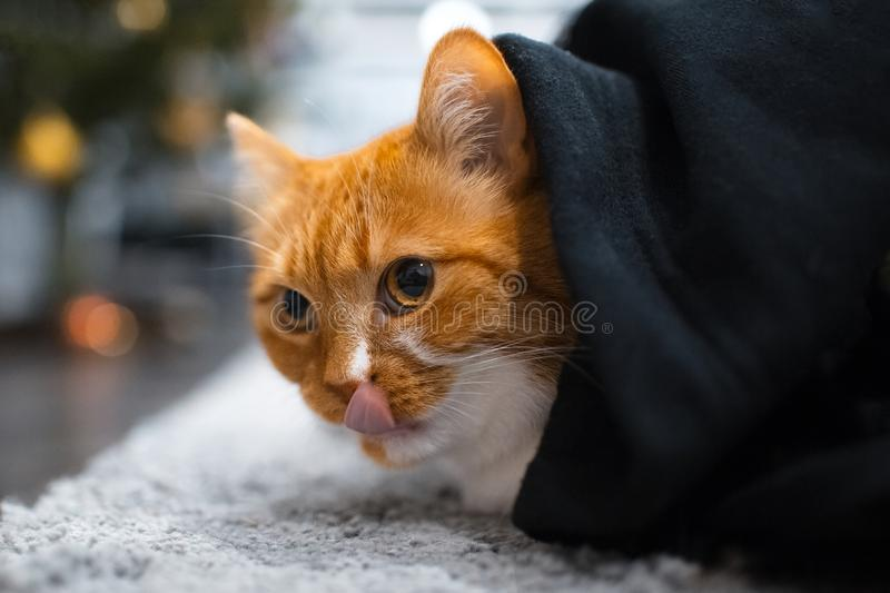 Red white cat licking nose hiding under black blanket.  stock photo