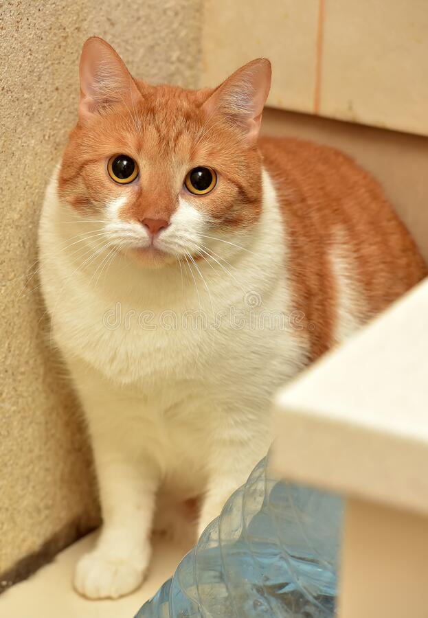 Red and white   cat. Red and white plump cat stock photo