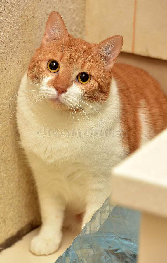 Red and white   cat. Red and white plump cat stock photos