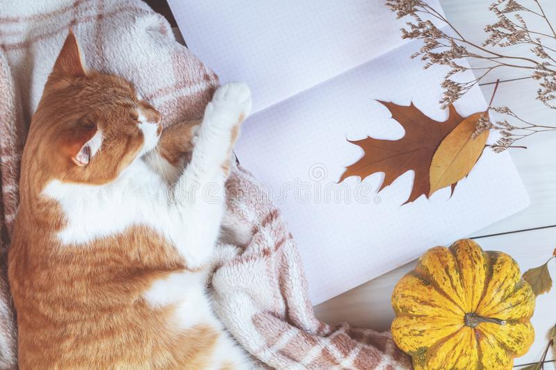 Red white cat sleep on plaid, pumpkin, autumn leaves, notepad. A stock images
