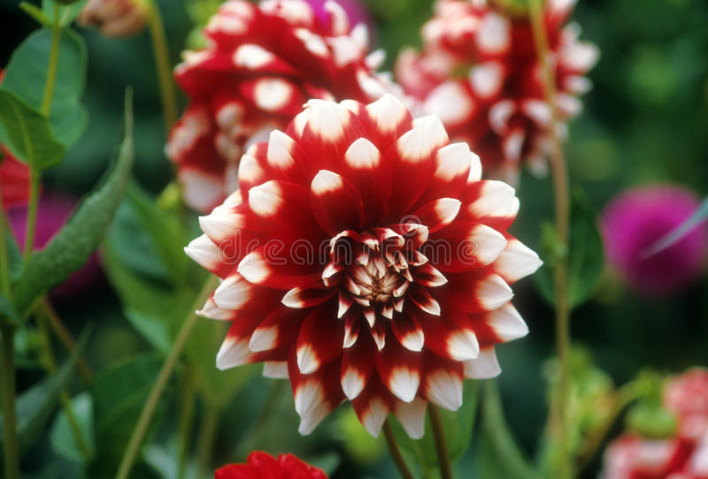 Red and white Dahlia. One of many colorful varieties of Dahlia flowers is photographed along the southern coast of Oregon royalty free stock images