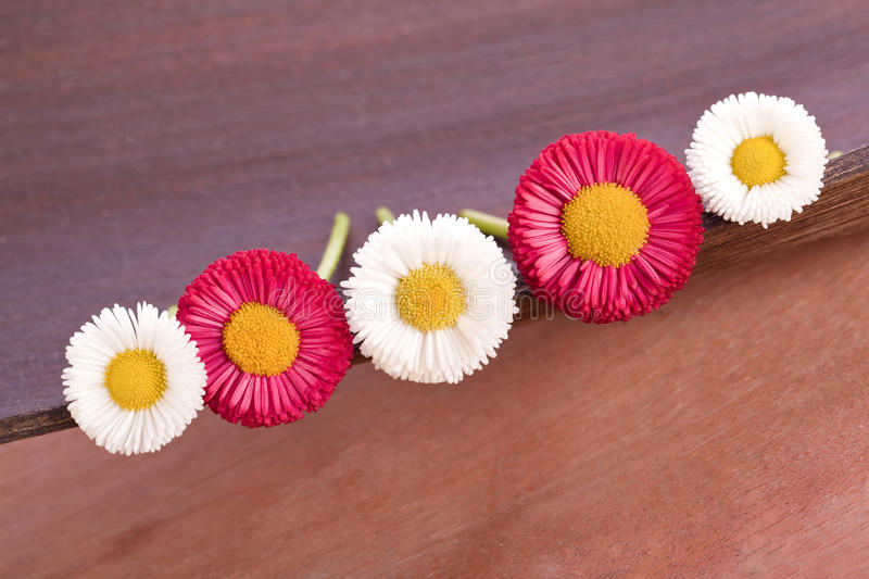 Red and white daisy. Beautiful red and white daisy flowers stock image