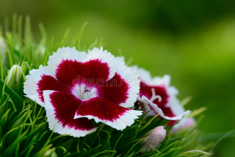 Red and white Dianthus flowers. With a green background royalty free stock photos