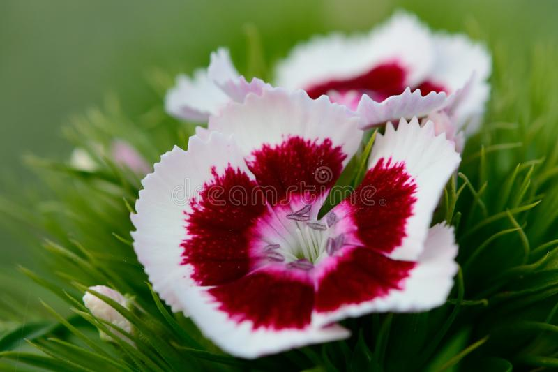 Red and white Dianthus flowers. With a green background stock photo