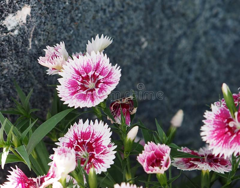 Red And White Dianthus Species In Summer. Red and white Dianthus or Sweet William species in bloom in summer royalty free stock image