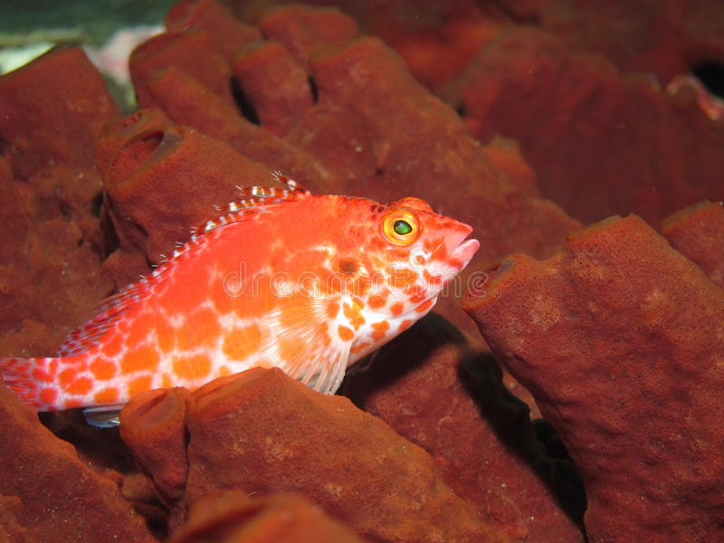 Red and white fish on a brown sponge royalty free stock image