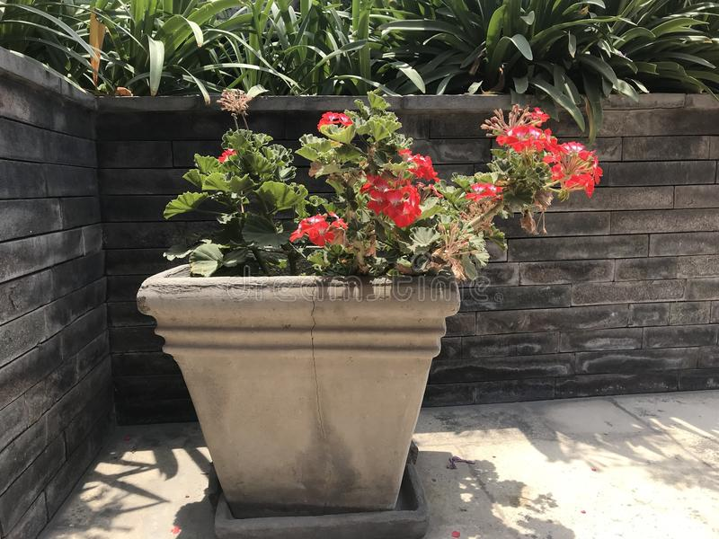 Flowers in pot. Red and white flowers in cement pot royalty free stock image