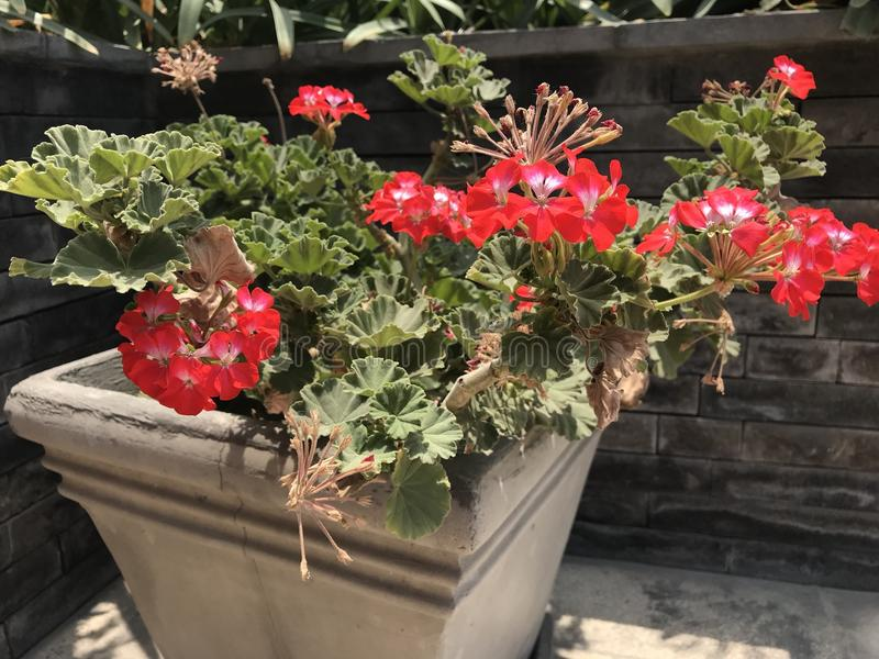 Flowers in pot. Red and white flowers in cement pot stock photos
