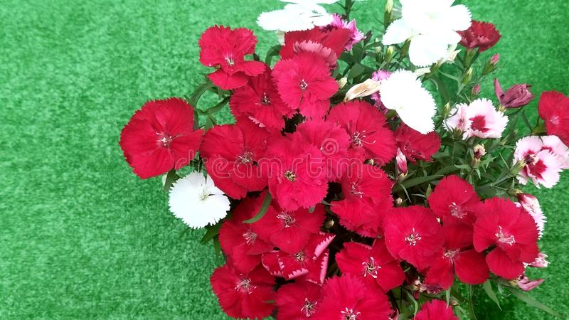 Red and white flowers of Chinese carnations, Dianthus chinensis.  stock images