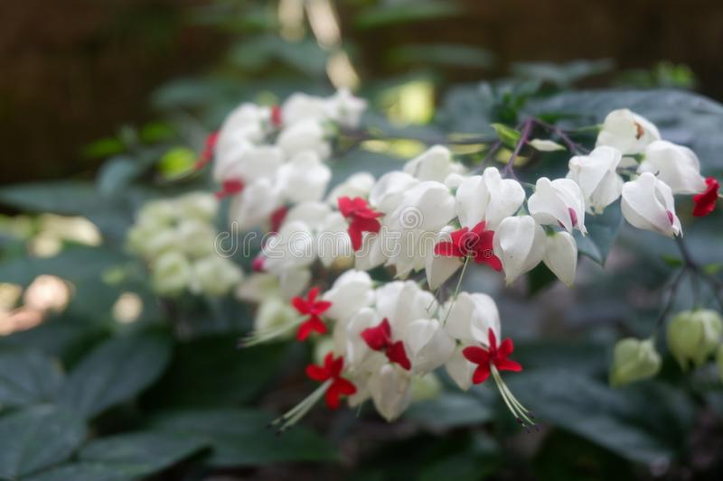 Red and white Flowers royalty free stock photo