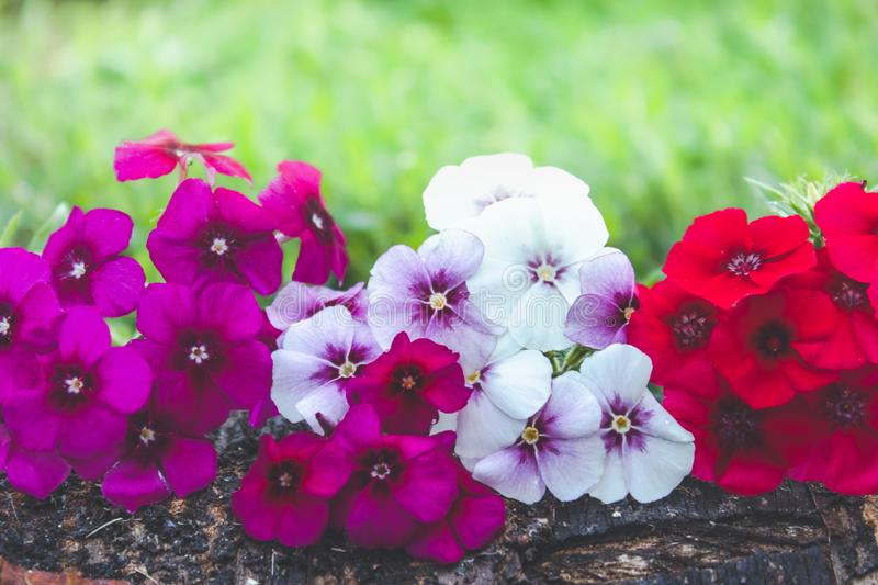 Red and white flowers lie on a tree bark on a background of green grass with a background of nature. Close-up stock photo