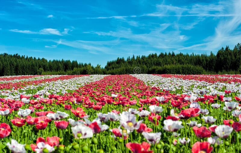 Red and White Flowers Under Blue Sky during Daytime stock photos