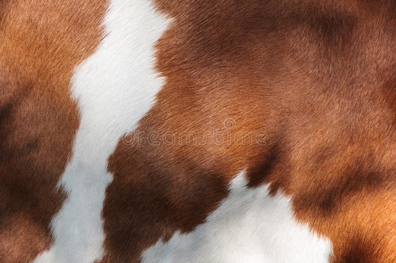 Red and white fur of a cow. Detail of the red and white fur of a Dutch milk cow stock image