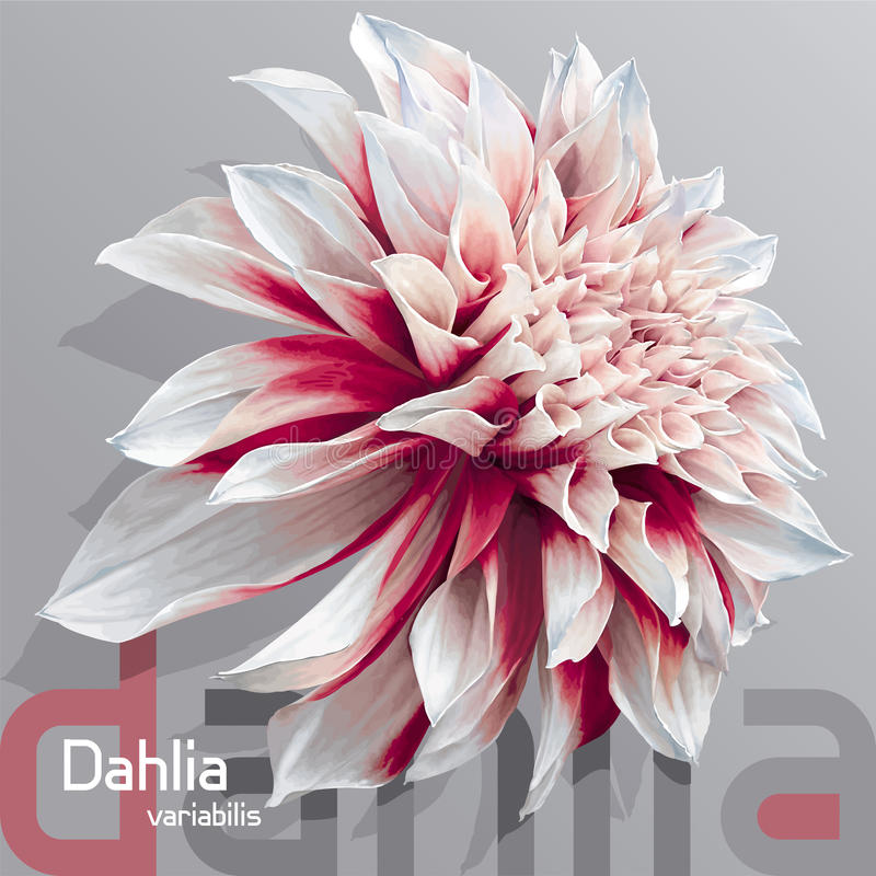 Red-white garden dahlia. Luxurious red-white garden Dahlia flower (Dahlia variabilis) - photo real vector drawing on neutral grey background vector illustration