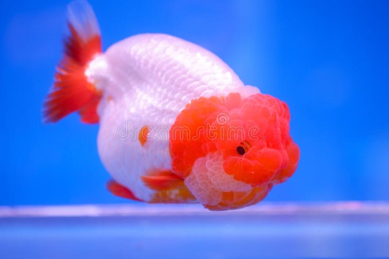 Gold fish in fish tank stock image
