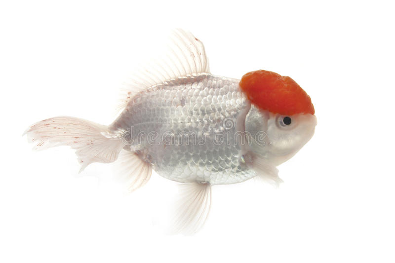 Red And White Goldfish Royalty Free Stock Photo