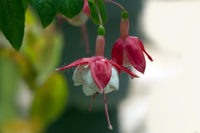 Red and white hanging fuchsia flowers stock photos