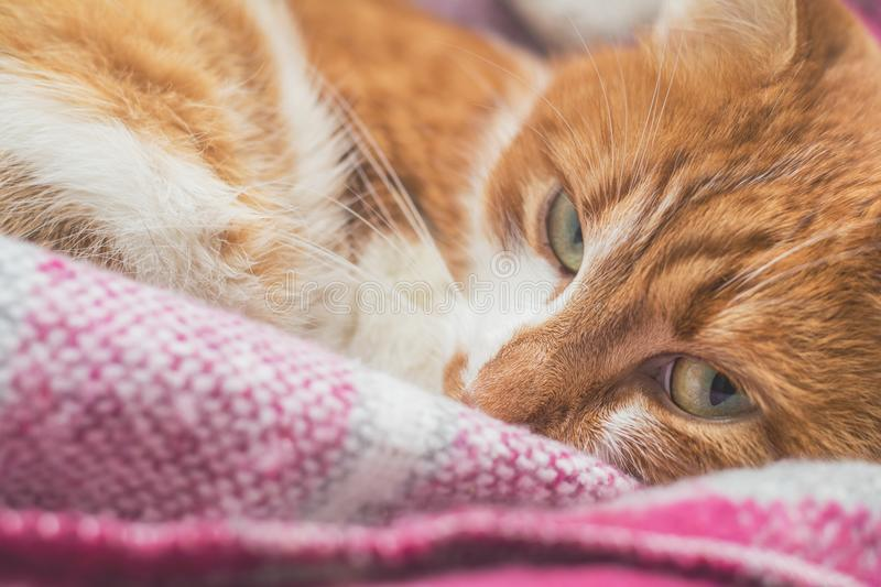 Red-and-white kitty is peaceful slumbering at the new violet plaid on the windowsill. Cozy home concept. Close up. royalty free stock image