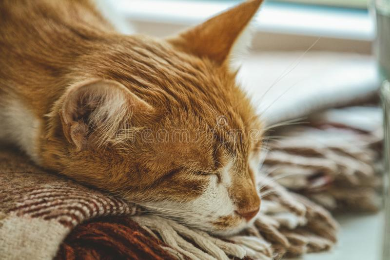 Red and white kitty sleeping in warm wool plaid blanket on a windowsill. Cozy home concept Coloring and processing photo royalty free stock images
