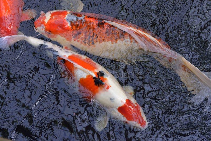 Red and white koi carp stock photography