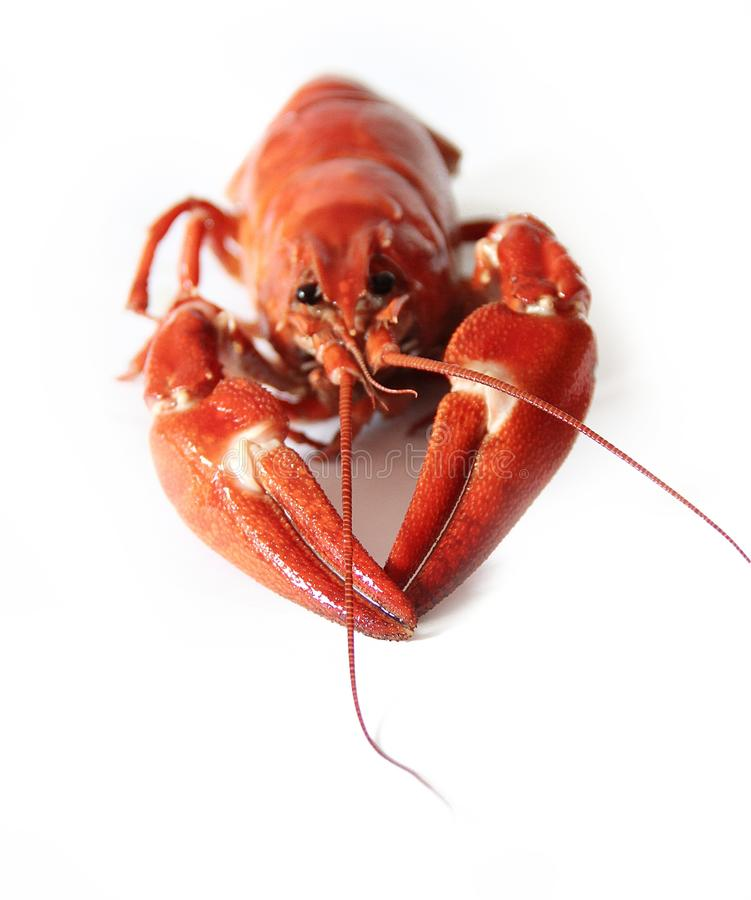 Red and White Lobster on a White Surface royalty free stock photo