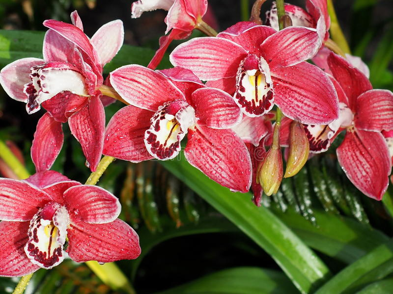 Red, White And Maroon Dendrobium Orchid. Red white and maroon dendrobium orchid with speckles in bloom stock photo