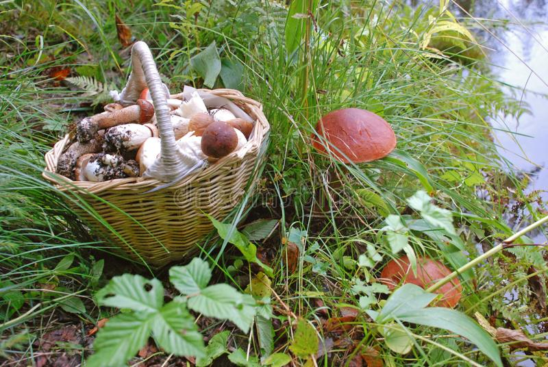 Red and white mushrooms in the basket in forest. stock photo