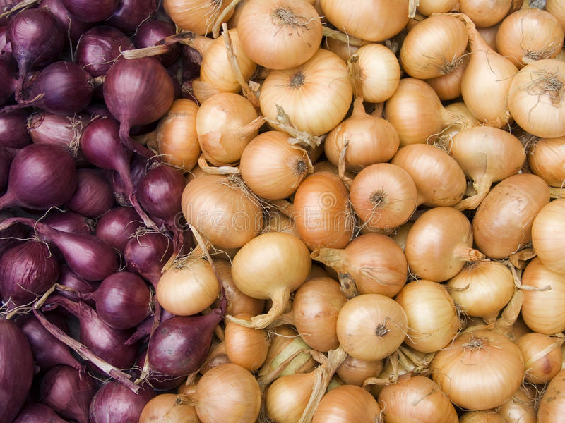 Red and white onions stock photography