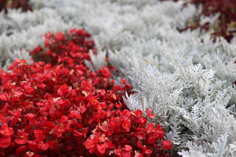 Red and white ornamental flowers near the fountains of the National Palace of Culture in Sofia the capital of Bulgaria. This photo was taken in home in Sofia royalty free stock photography