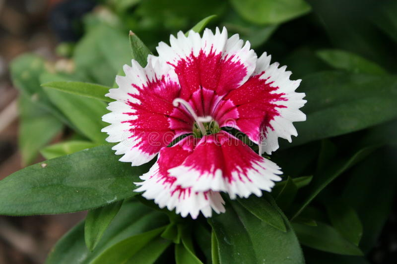 Red and white perennial dianthus. Flower that is in our flower garden stock photos