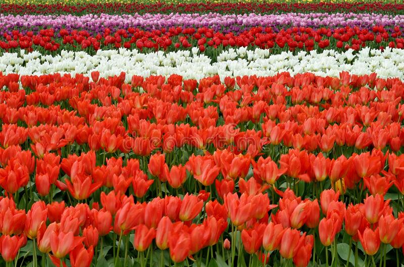 Red White And Pink Flower Fields During Daytime Free Public Domain Cc0 Image