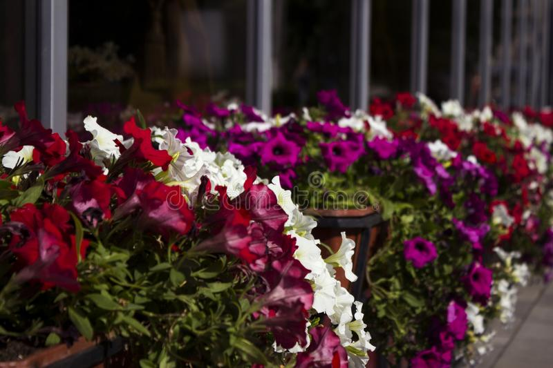 Red, white and pink petunias bloom in pots on the street near the cafe. Summer, bright flowers, street decoration stock image