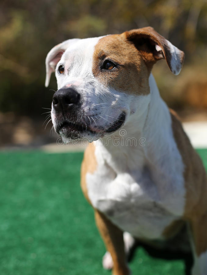 Download Red And White Pitbull Posing For Her Head Shot Stock Photo - Image: 32269684