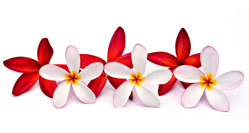 Download Red and white Plumeria stock image. Image of design, beauty - 14860273