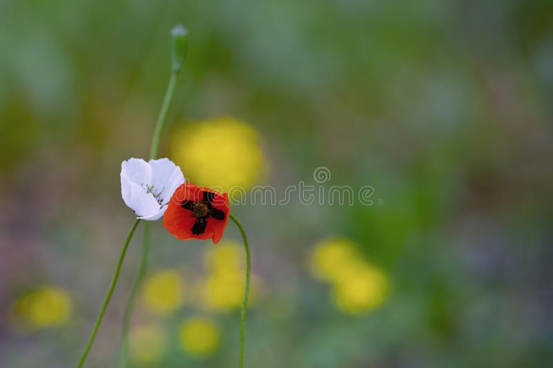 Red and white poppies leaning to each other stock images