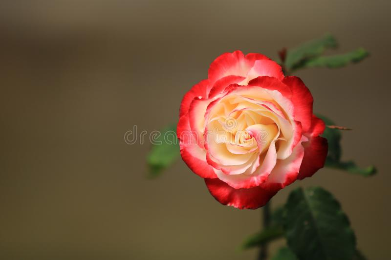 Red white rose flower on background blurry leaf in the garden of roses,Delicate beauty of close-up rose.  stock images
