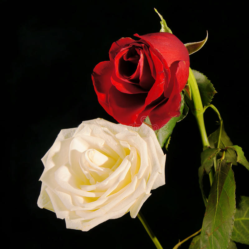 Red And White Roses Against A Dark Background Stock Photography