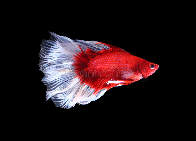 Twin tail halfmoon betta fish images for Siamese fighting fish crossword