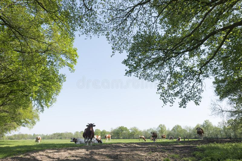 Red and white spotted cows in meadowvunder fresh leaves of beech trees in spring stock image