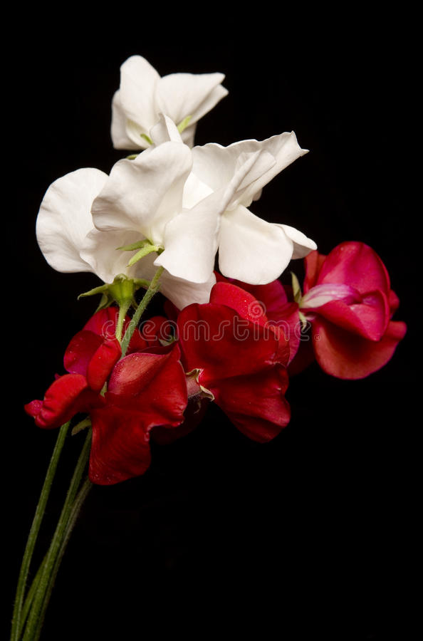 Red and White Sweet Peas stock photos