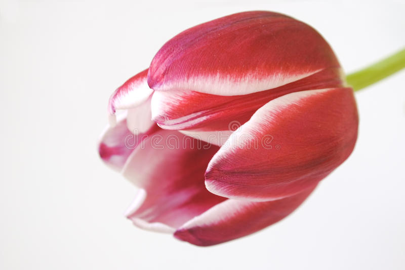 Download Red-white tulip stock image. Image of blossom, petal - 14158523