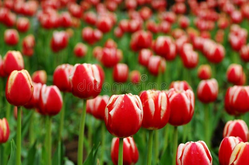 Red&White tulip-2