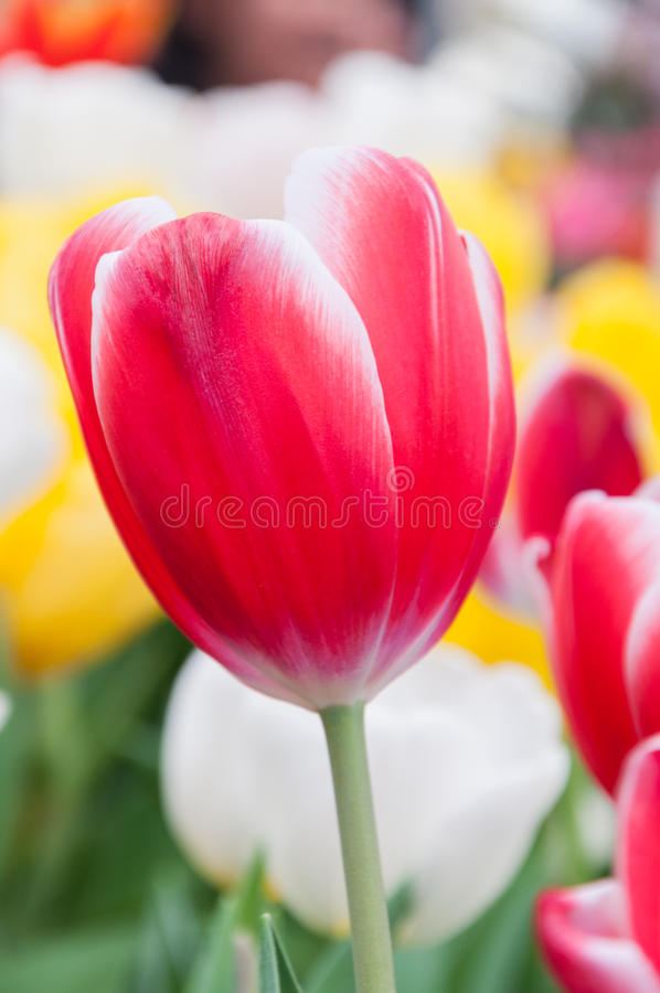Download Red and white tulip stock image. Image of bloom, blossom - 29224157