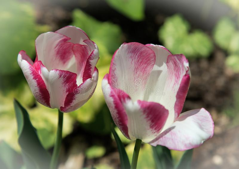 Red and White Tulip Twins. Adorn a woodland garden in Northern Virginia stock photos