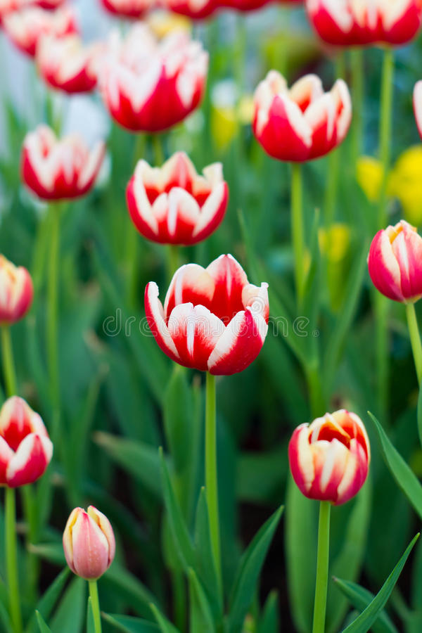 Red and white tulips stock image